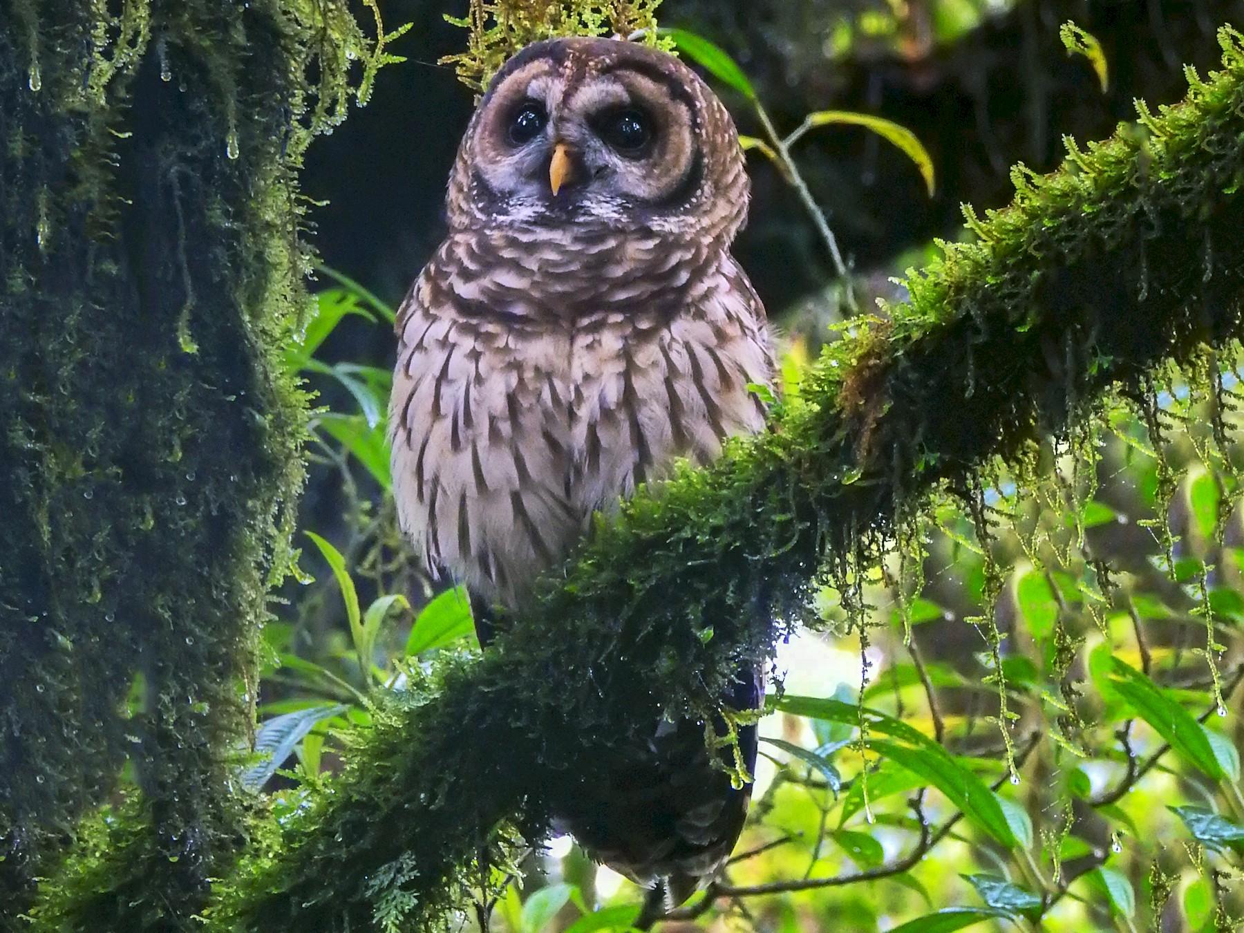 Fulvous Owl - Katinka Domen (Beaks and Peaks)