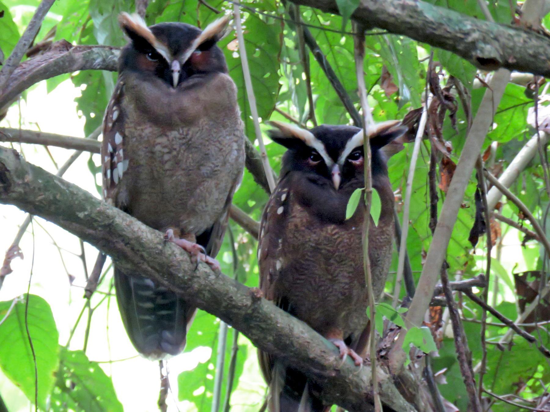 Crested Owl - David Larsen