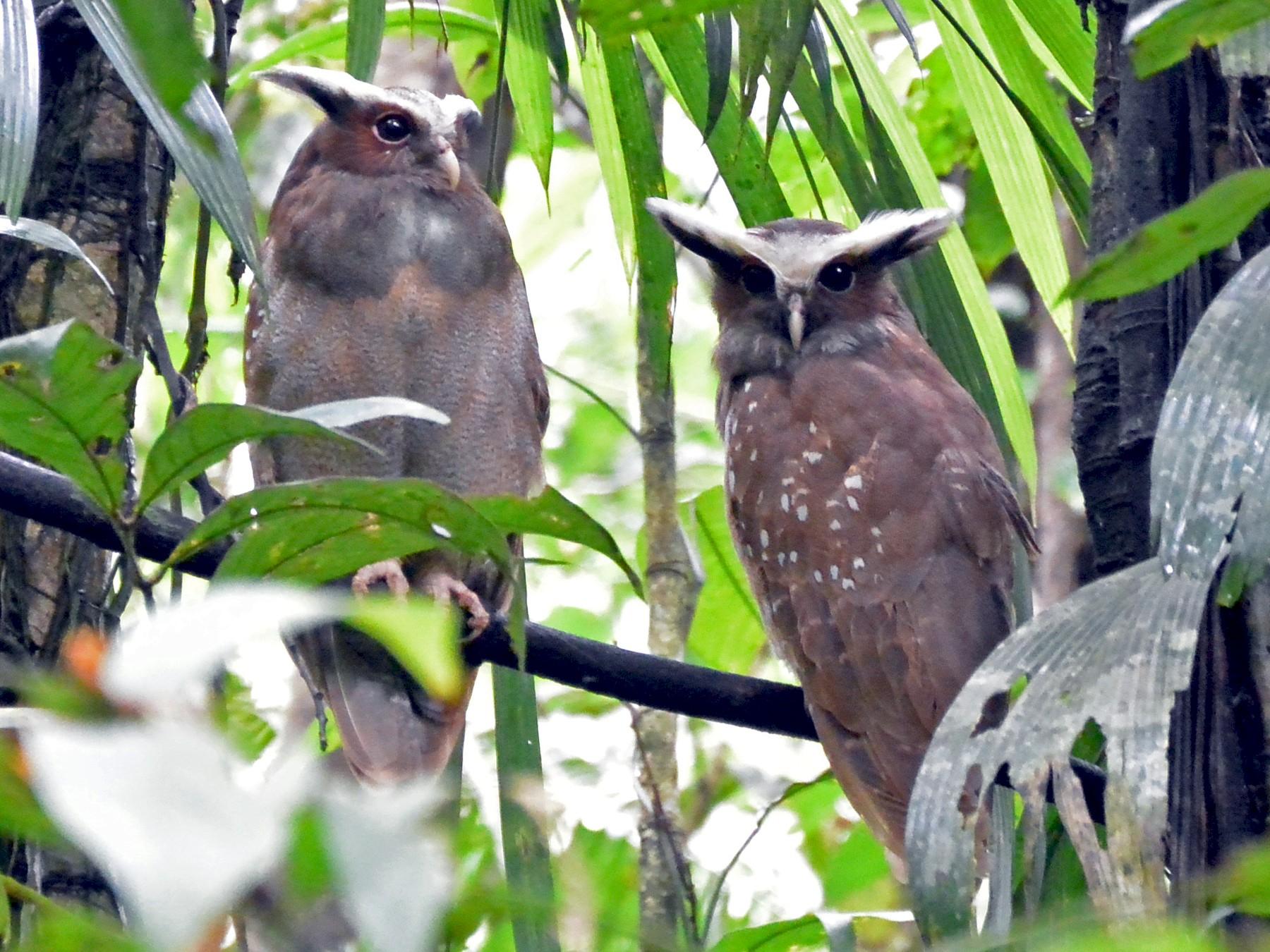 Crested Owl - Amy McDonald