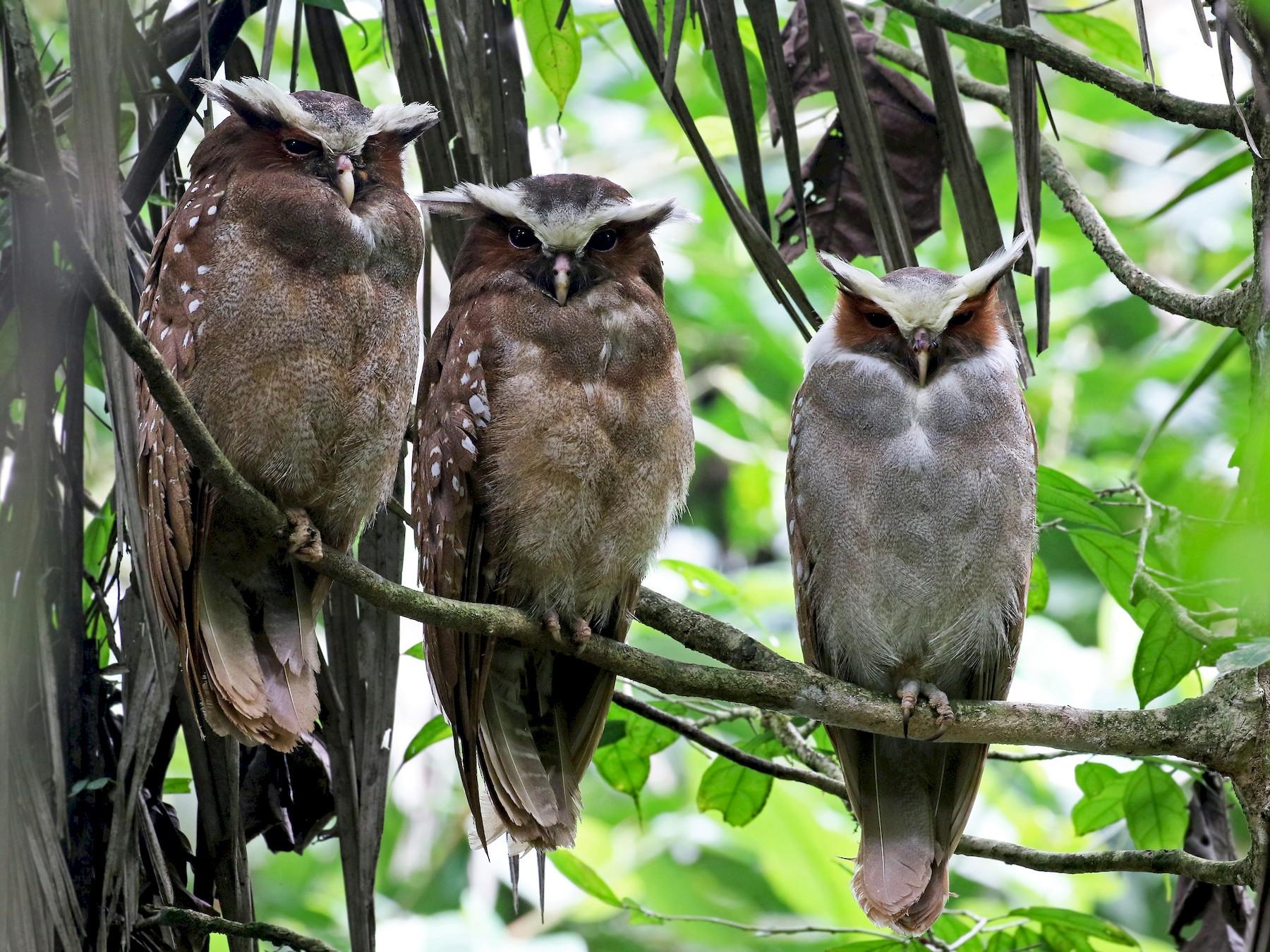 Crested Owl - Andrew Spencer