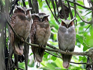 - Crested Owl