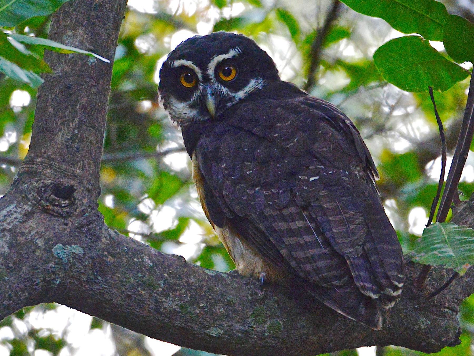 Spectacled Owl - Alan Van Norman
