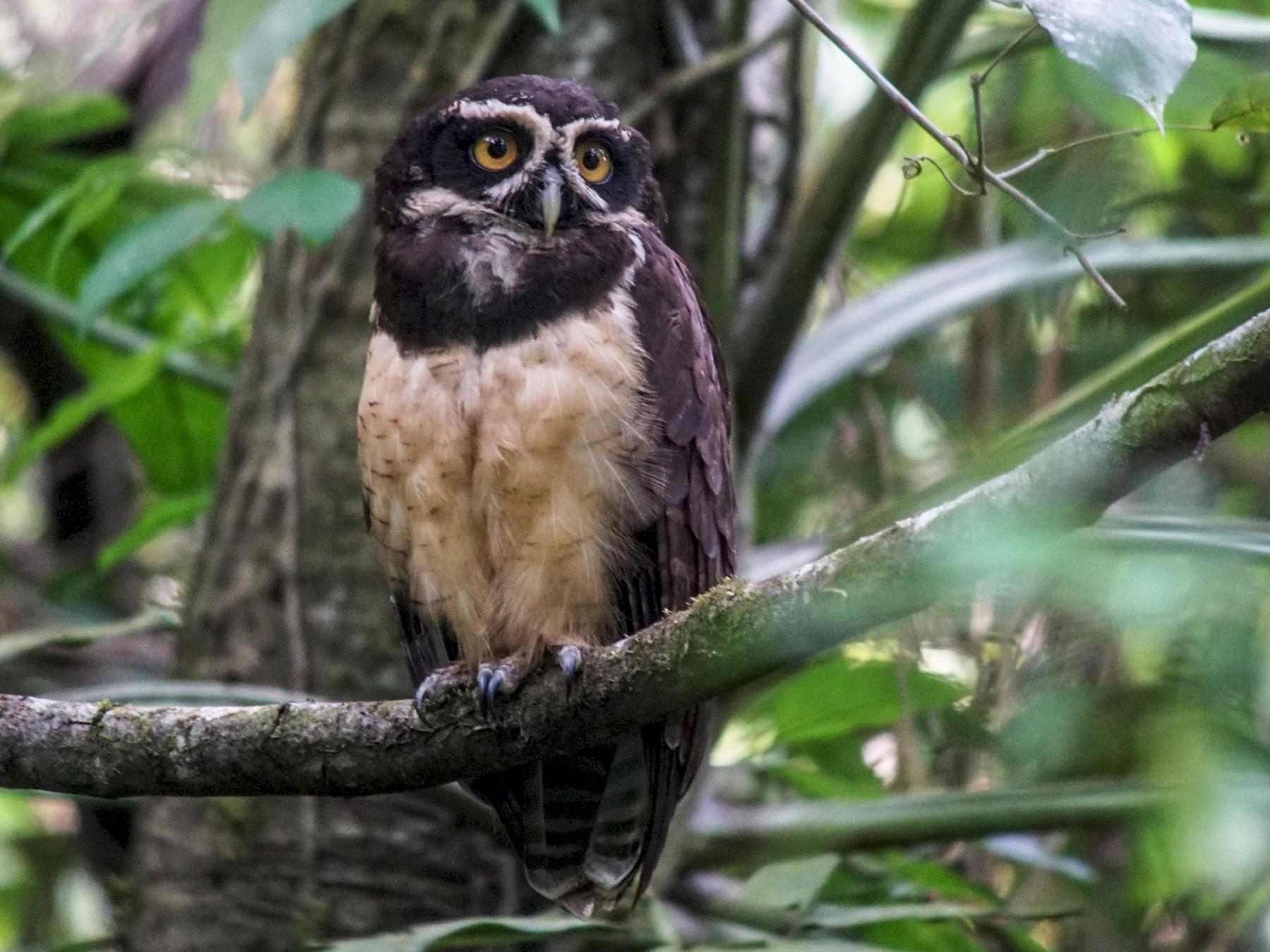 Spectacled Owl - William Orellana (Beaks and Peaks)