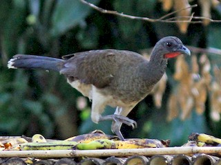 - White-bellied Chachalaca