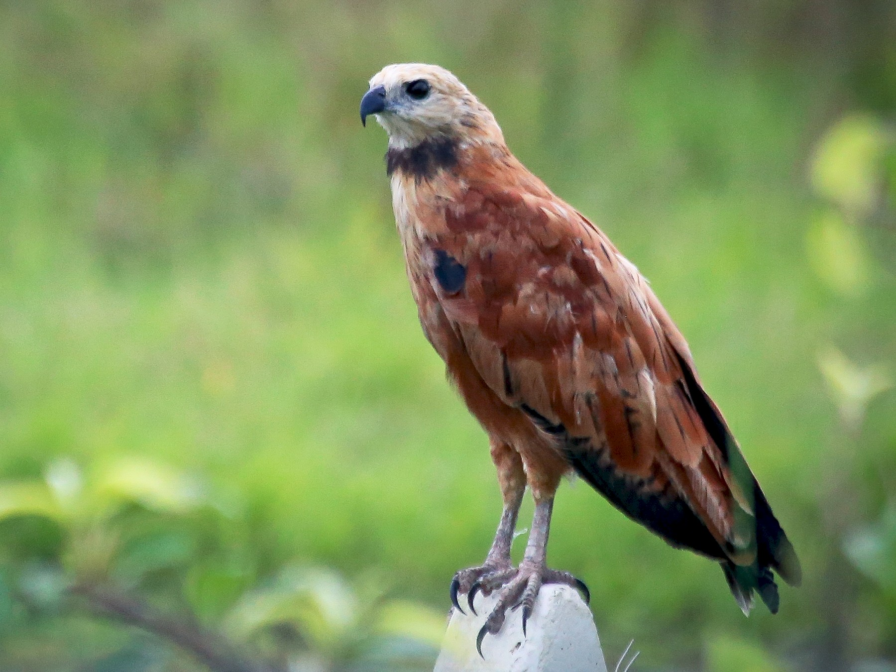 Black-collared Hawk - Chantelle du Plessis (Andes EcoTours)