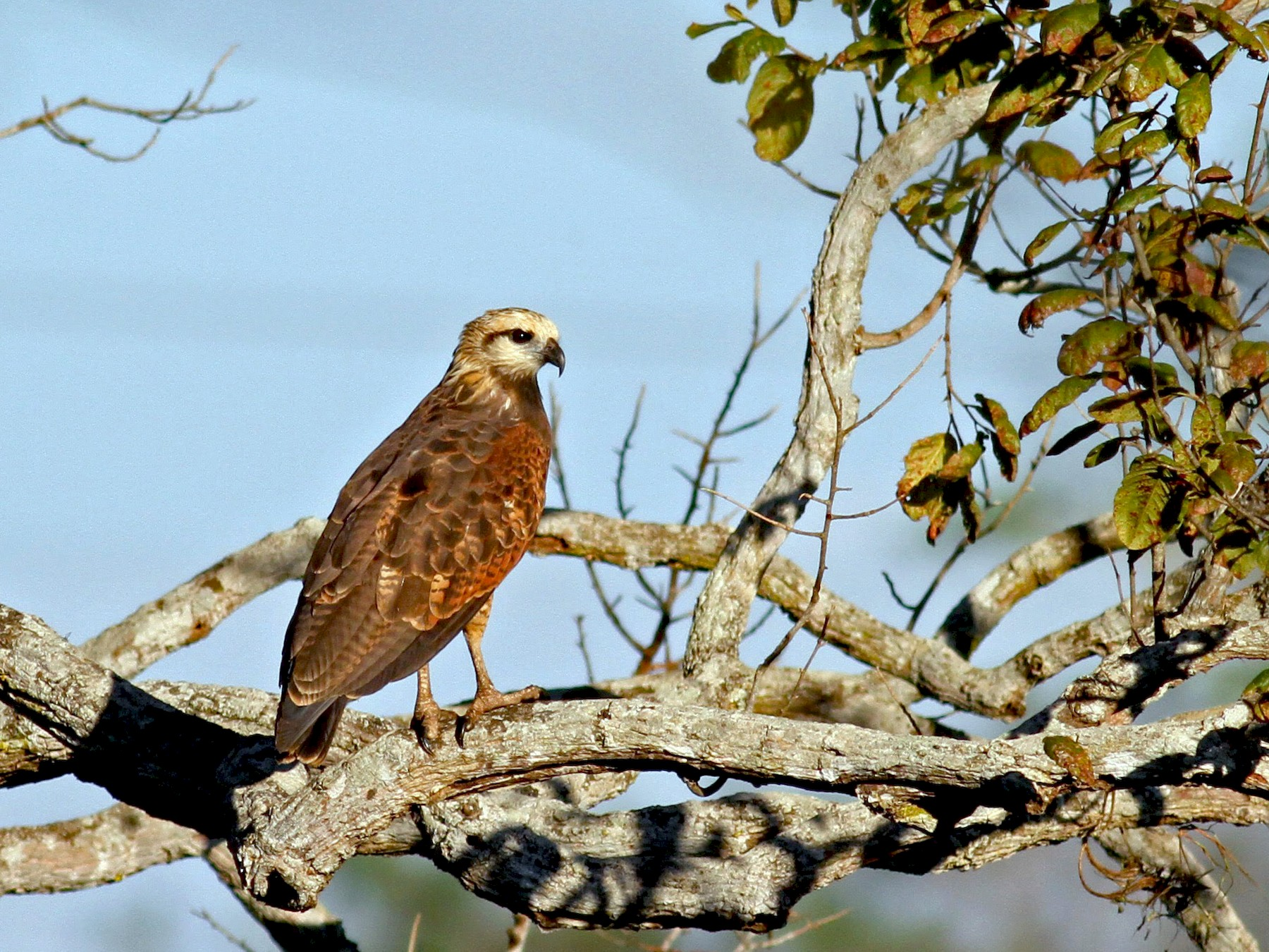 Black-collared Hawk - Jay McGowan