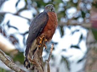- Double-toothed Kite