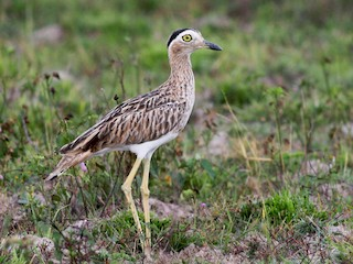 - Double-striped Thick-knee