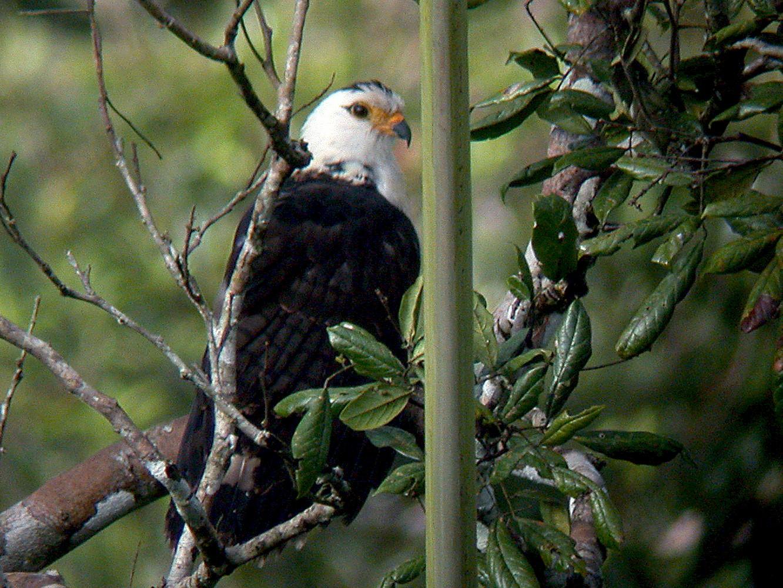 Gray-headed Kite - Roger Ahlman