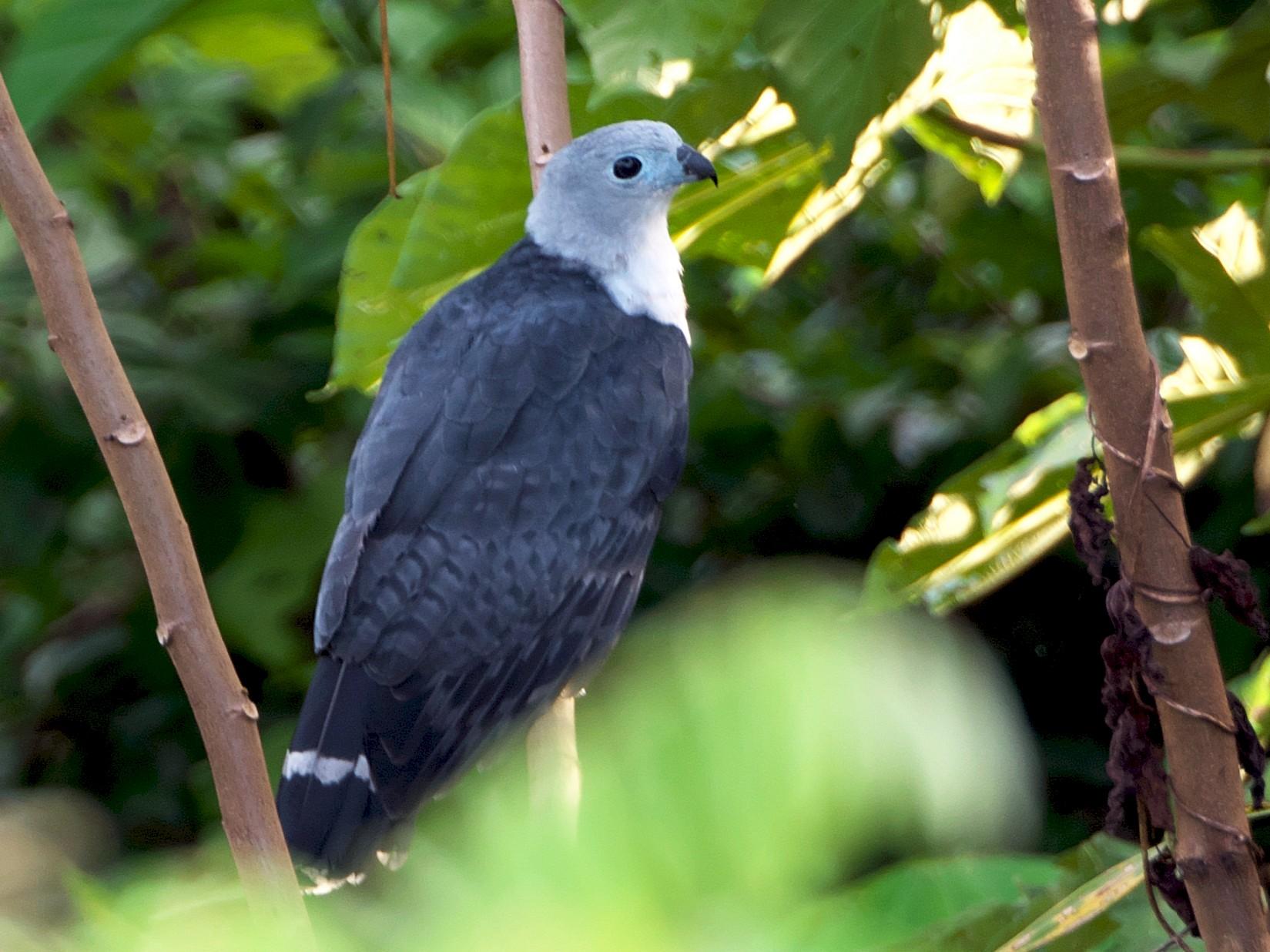 Gray-headed Kite - Paul Tavares