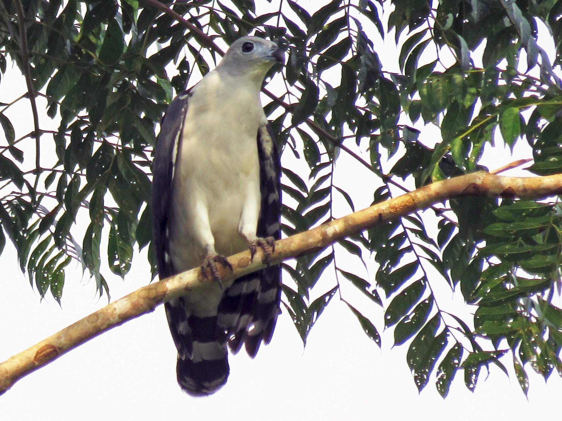 Gray-headed Kite - Brayan Coral Jaramillo