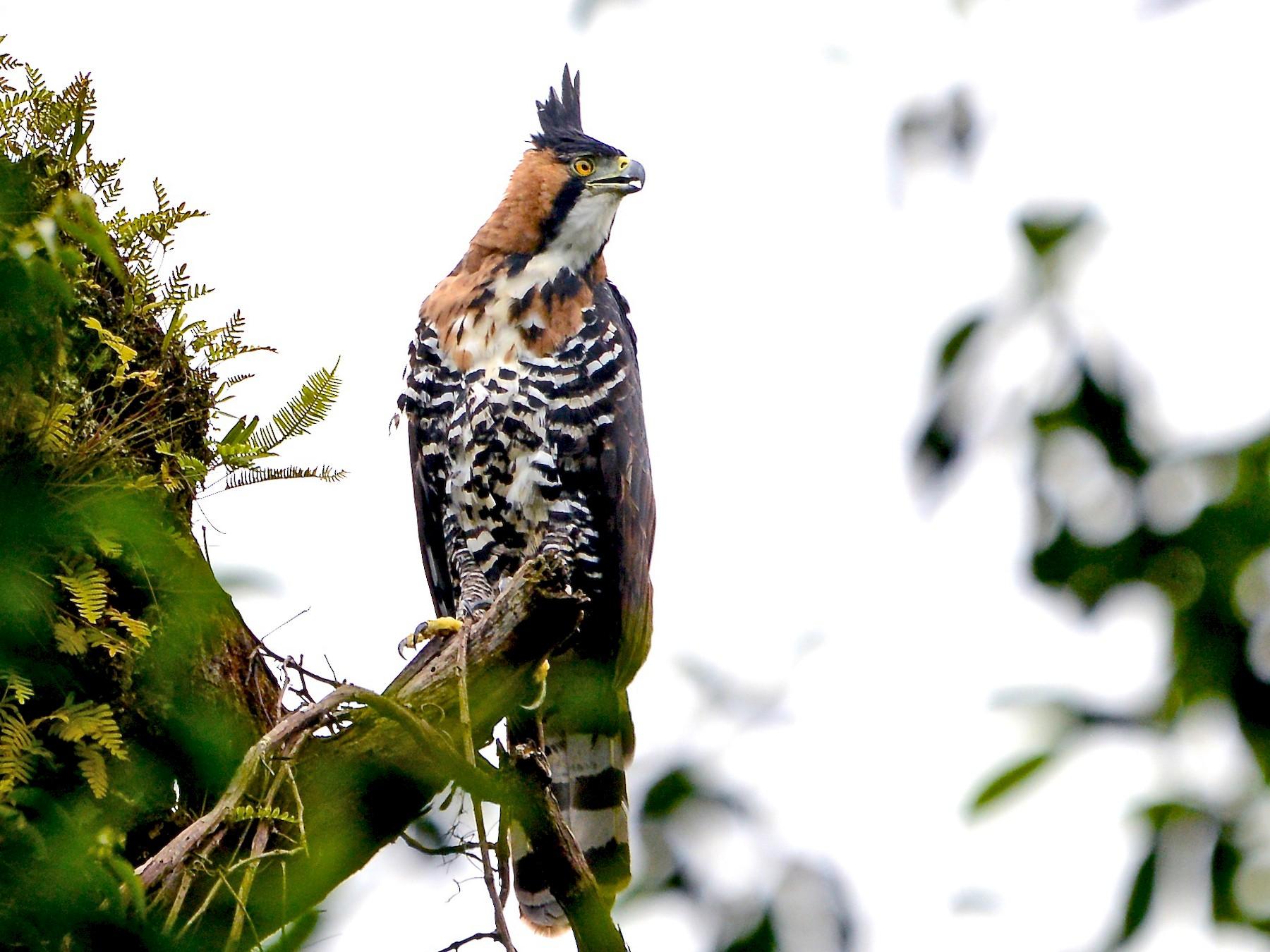 Ornate Hawk-Eagle - Alan Van Norman