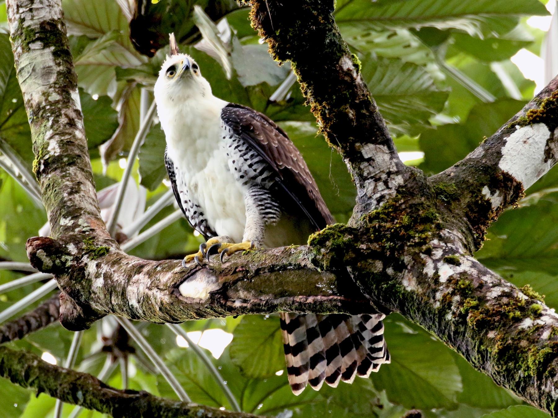 Ornate Hawk-Eagle - Kathleen Keef