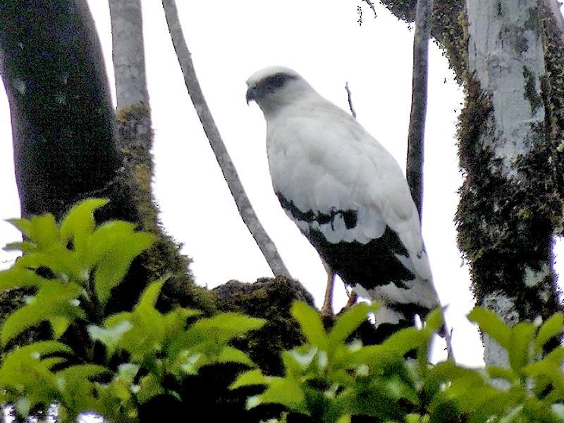 White Hawk - Maynor Ovando