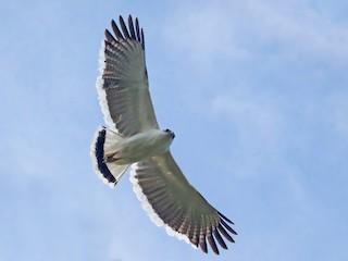 - White Hawk