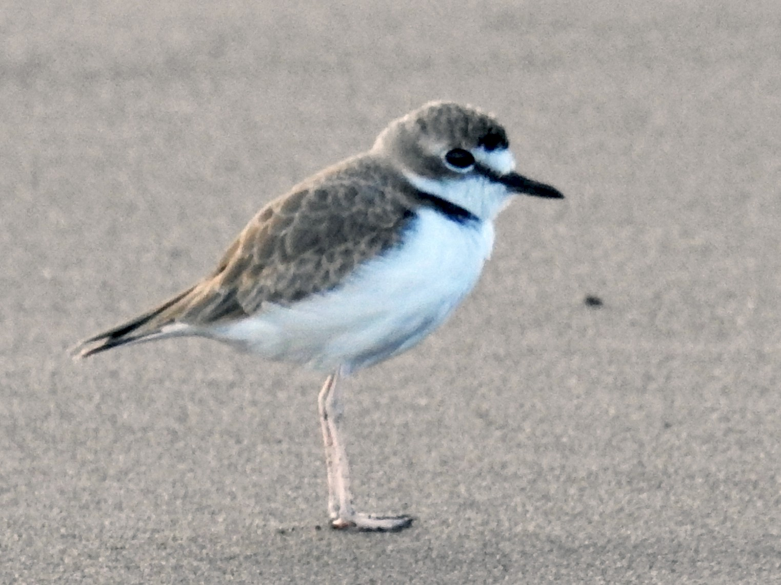 Collared Plover - David Bree