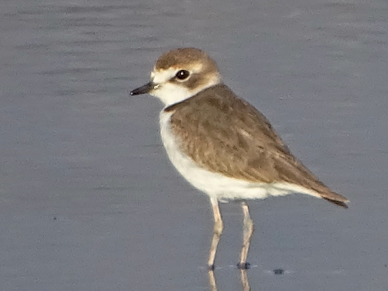 Collared Plover - Charly Moreno Taucare