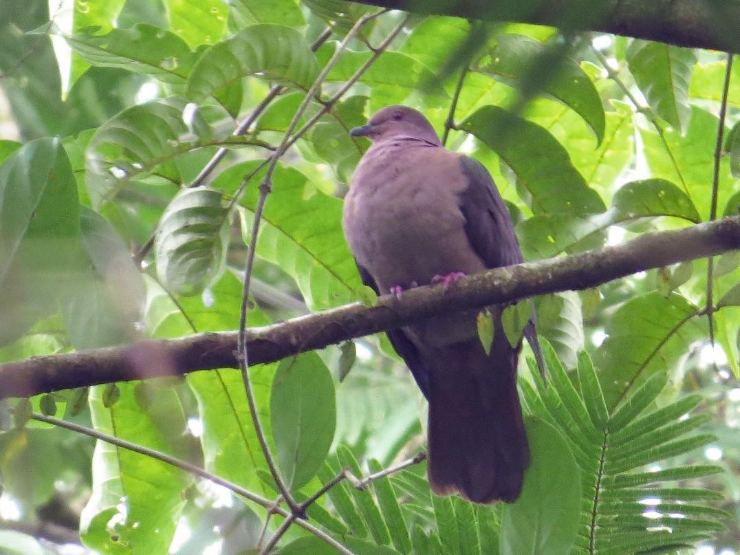 Short-billed Pigeon - Róger Rodríguez Bravo