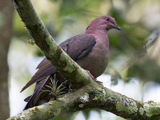 - Short-billed Pigeon