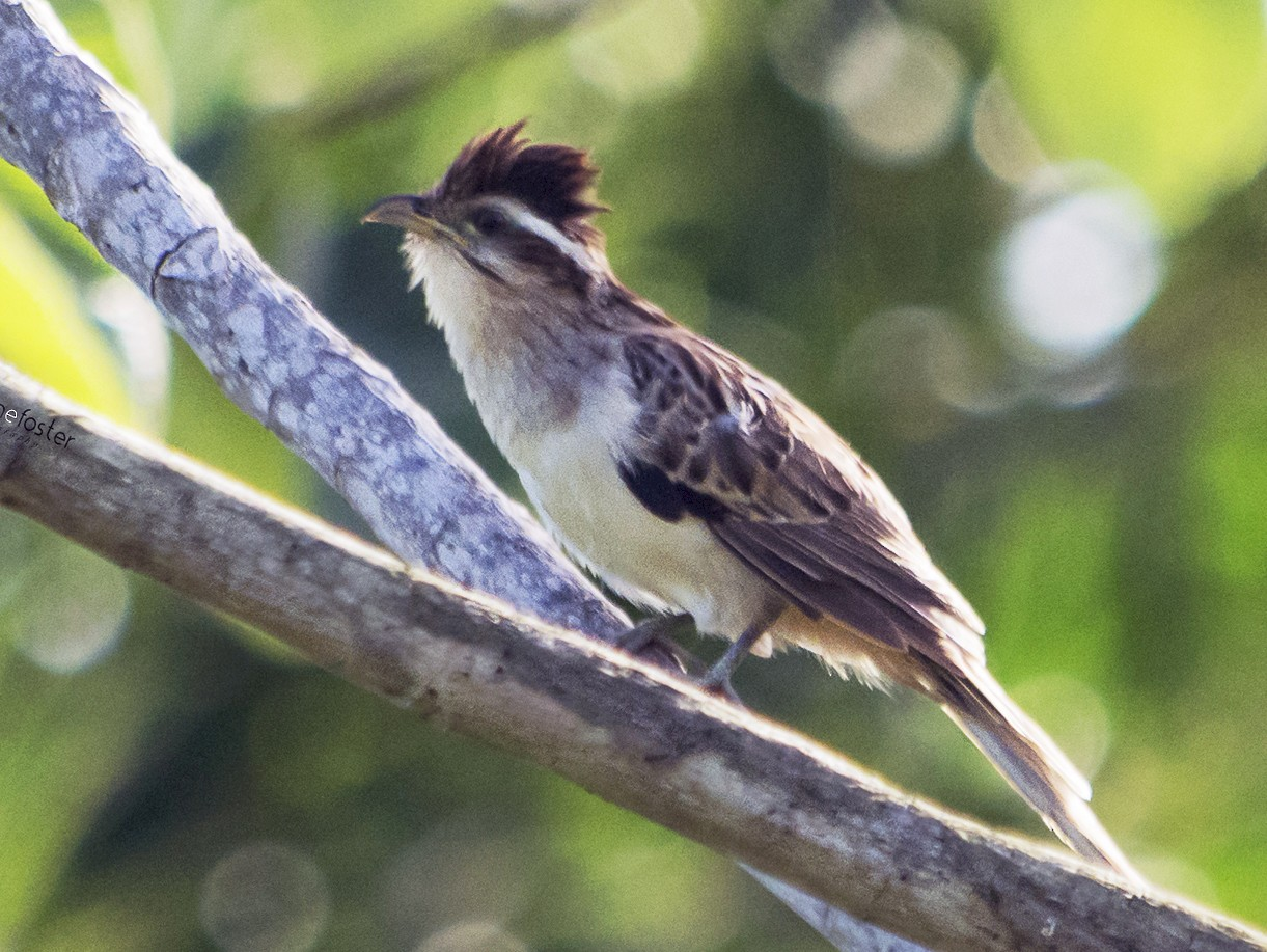 Striped Cuckoo - Jerome Foster