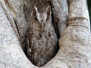 - Pacific Screech-Owl