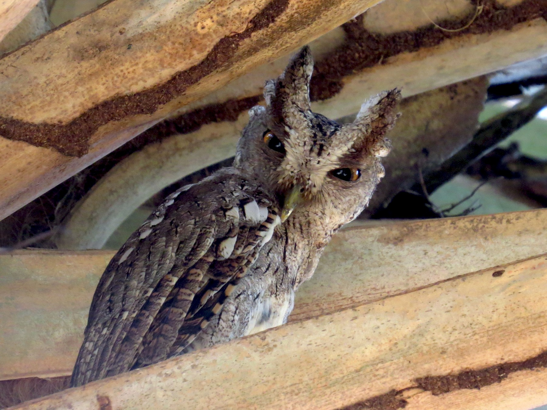Pacific Screech-Owl - Diane Thériault
