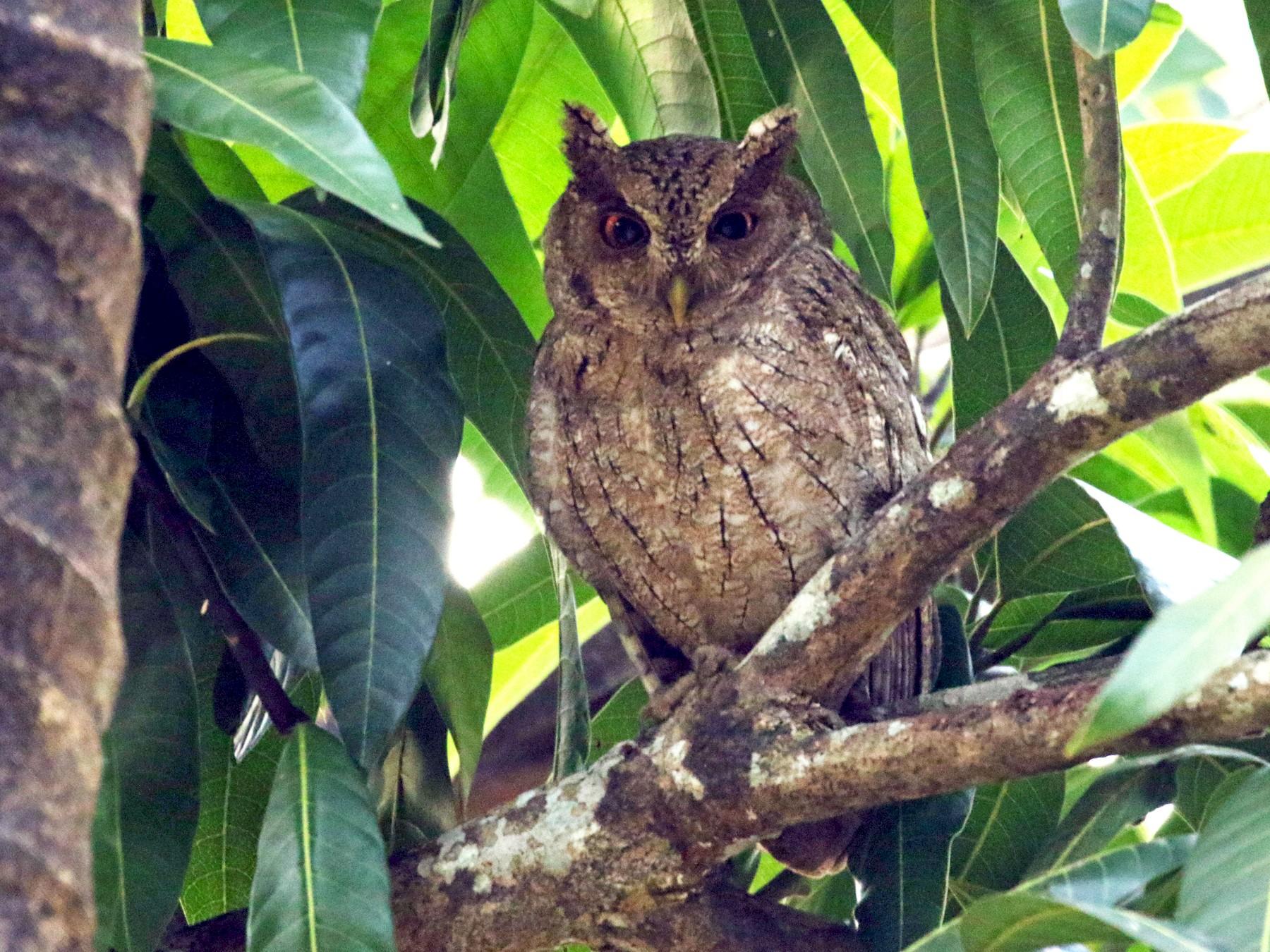 Pacific Screech-Owl - Kathleen Keef