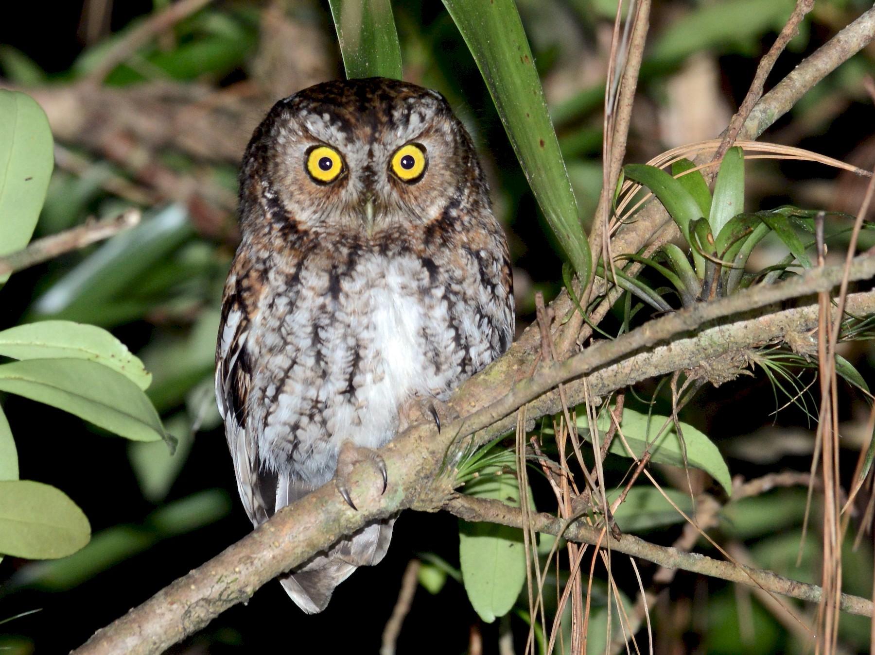 Bearded Screech-Owl - Alan Van Norman