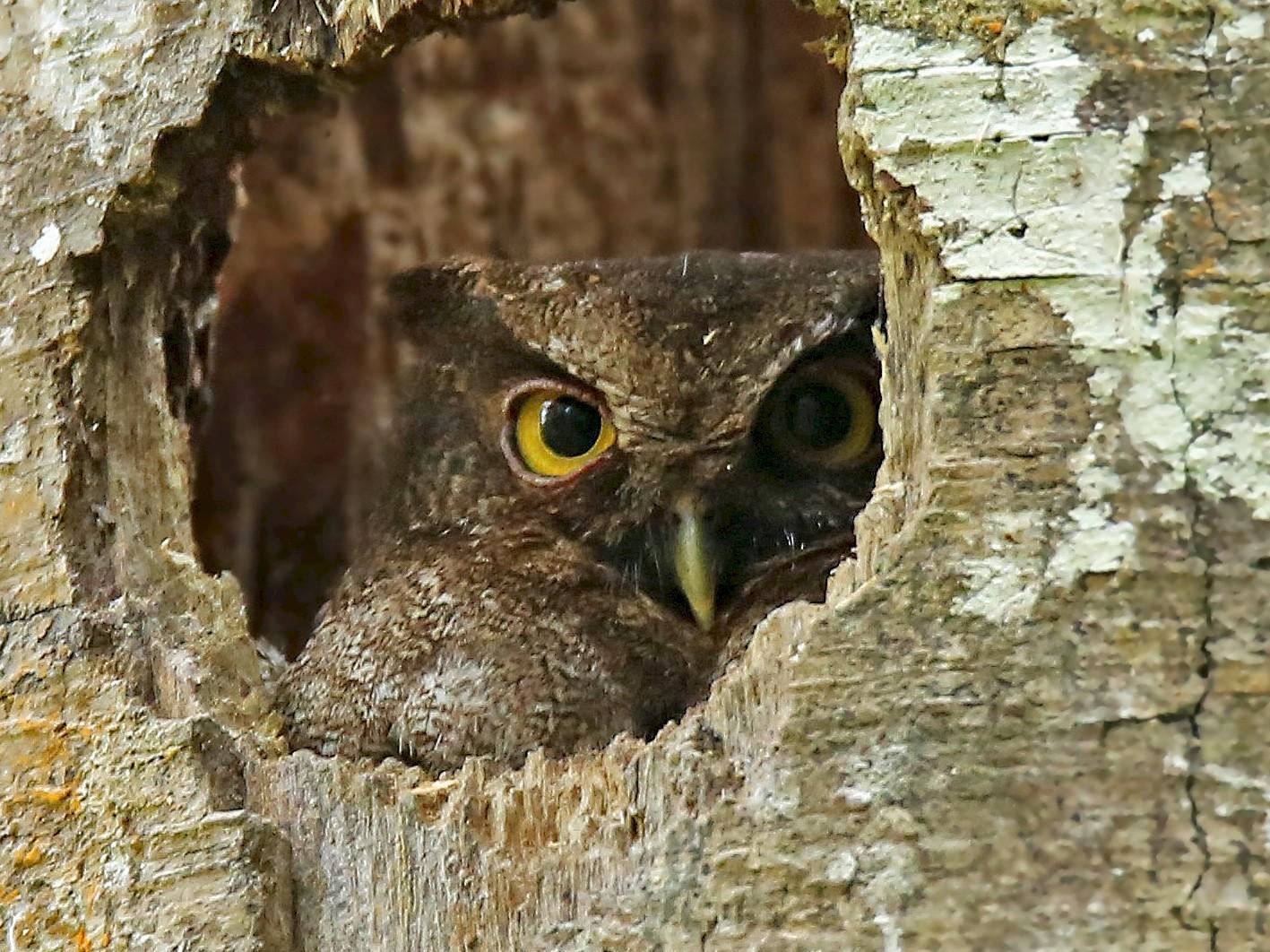 Foothill Screech-Owl - Roger Ahlman