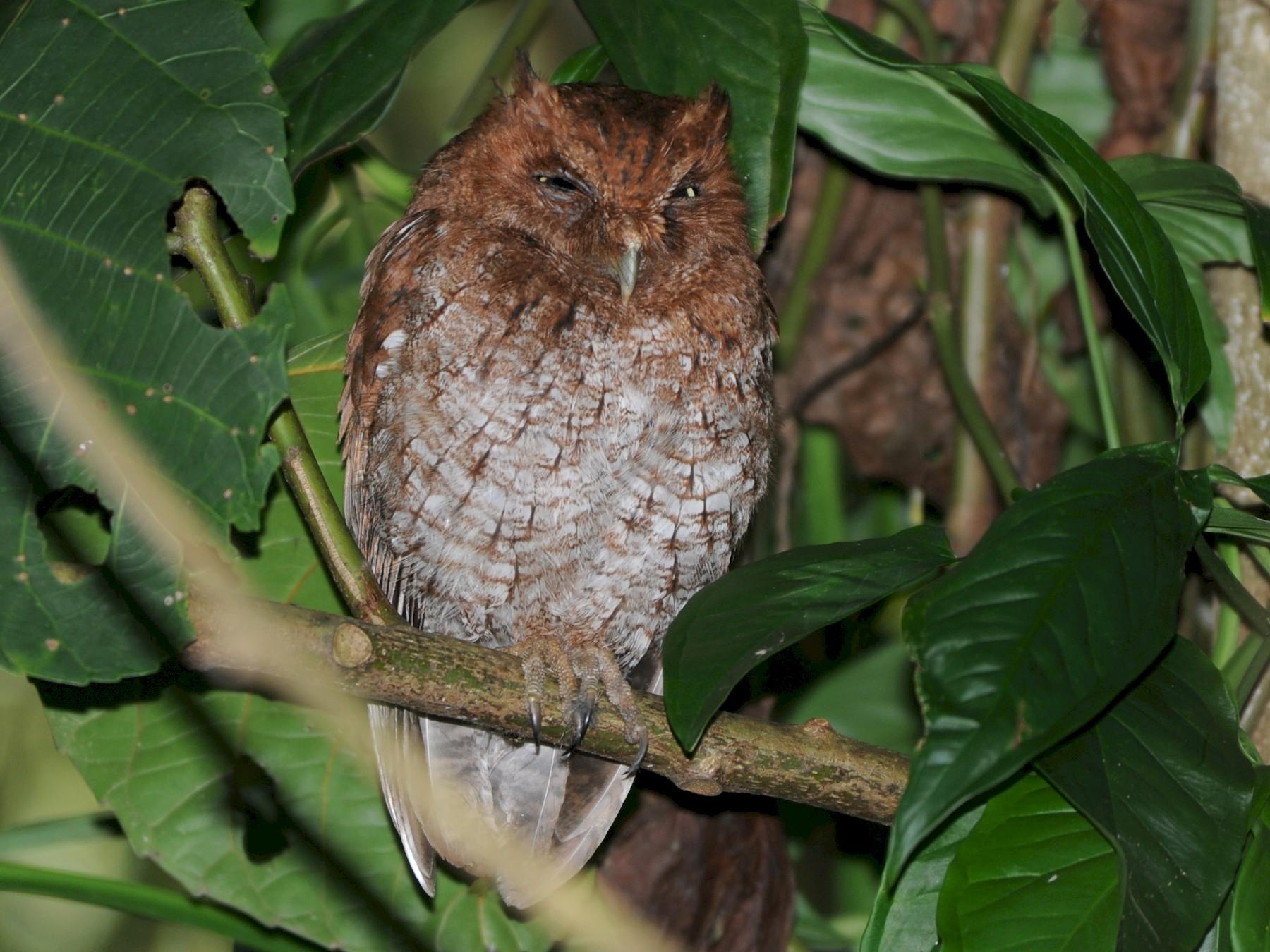 Middle American Screech-Owl - Alan Van Norman
