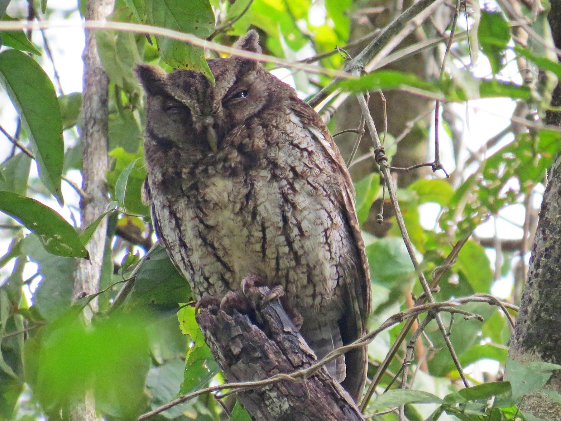 Middle American Screech-Owl - Elena  Conde