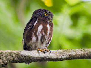 - Central American Pygmy-Owl