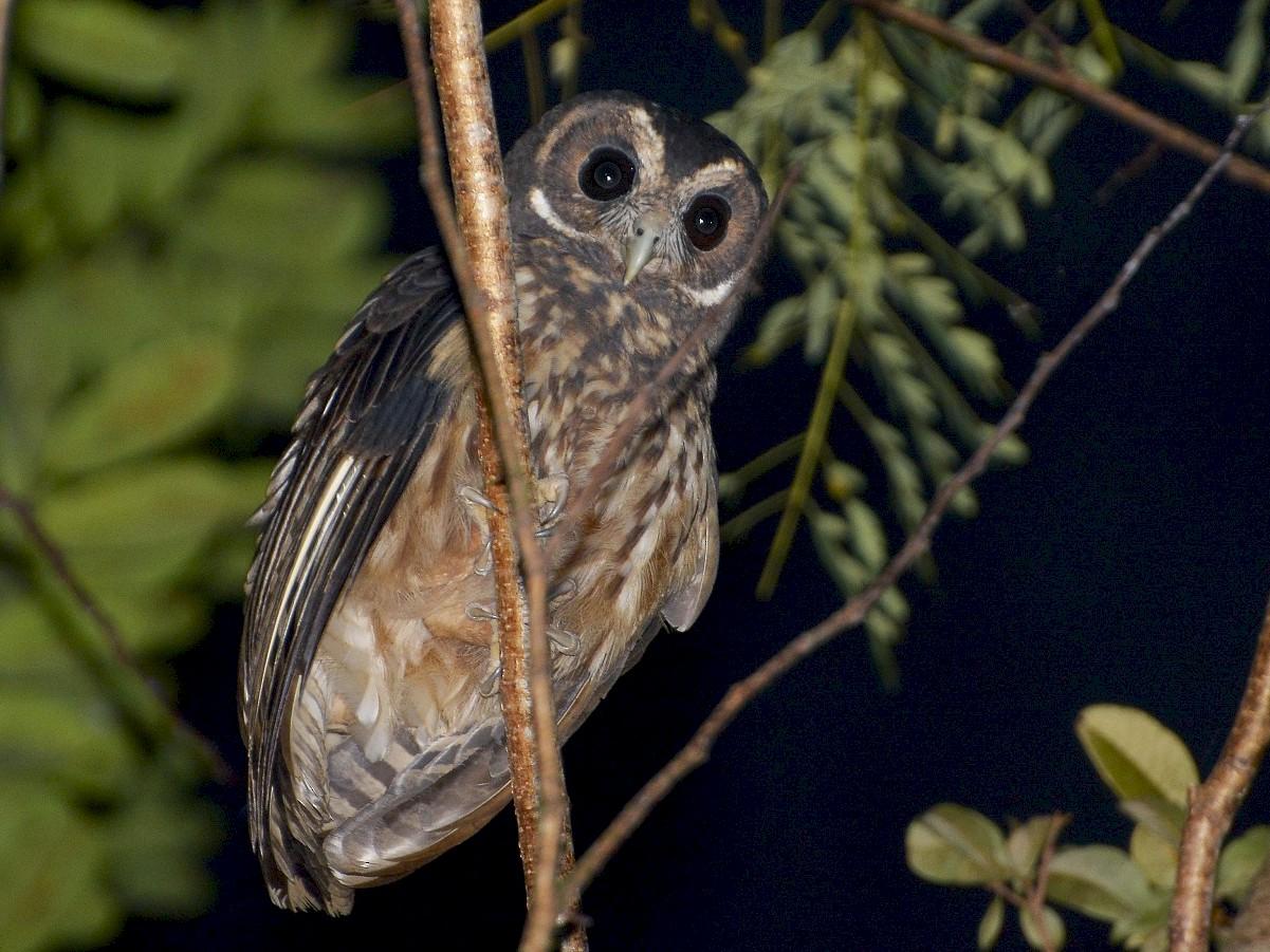 Mottled Owl - Stephen Jones