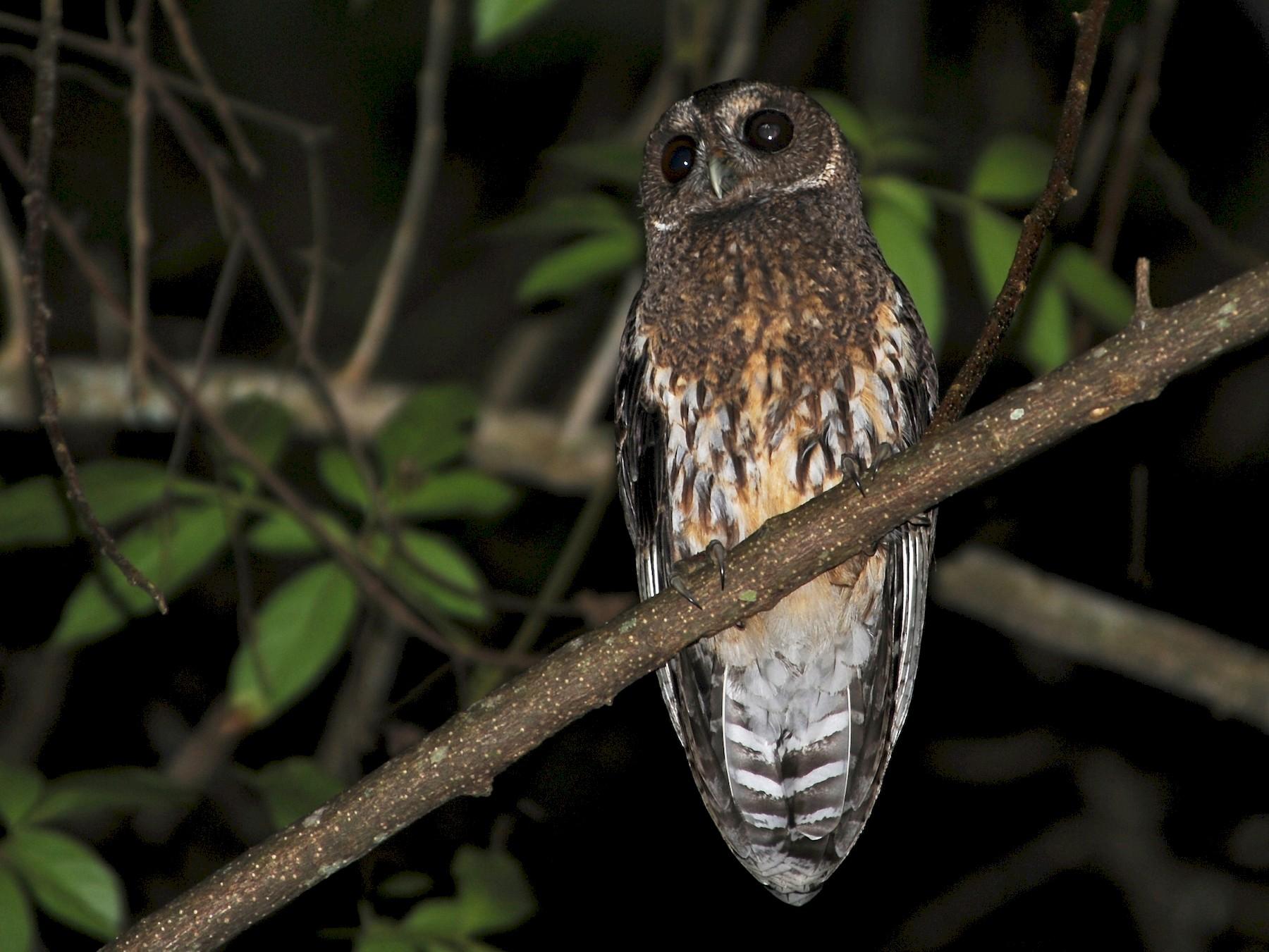 Mottled Owl - Alan Van Norman
