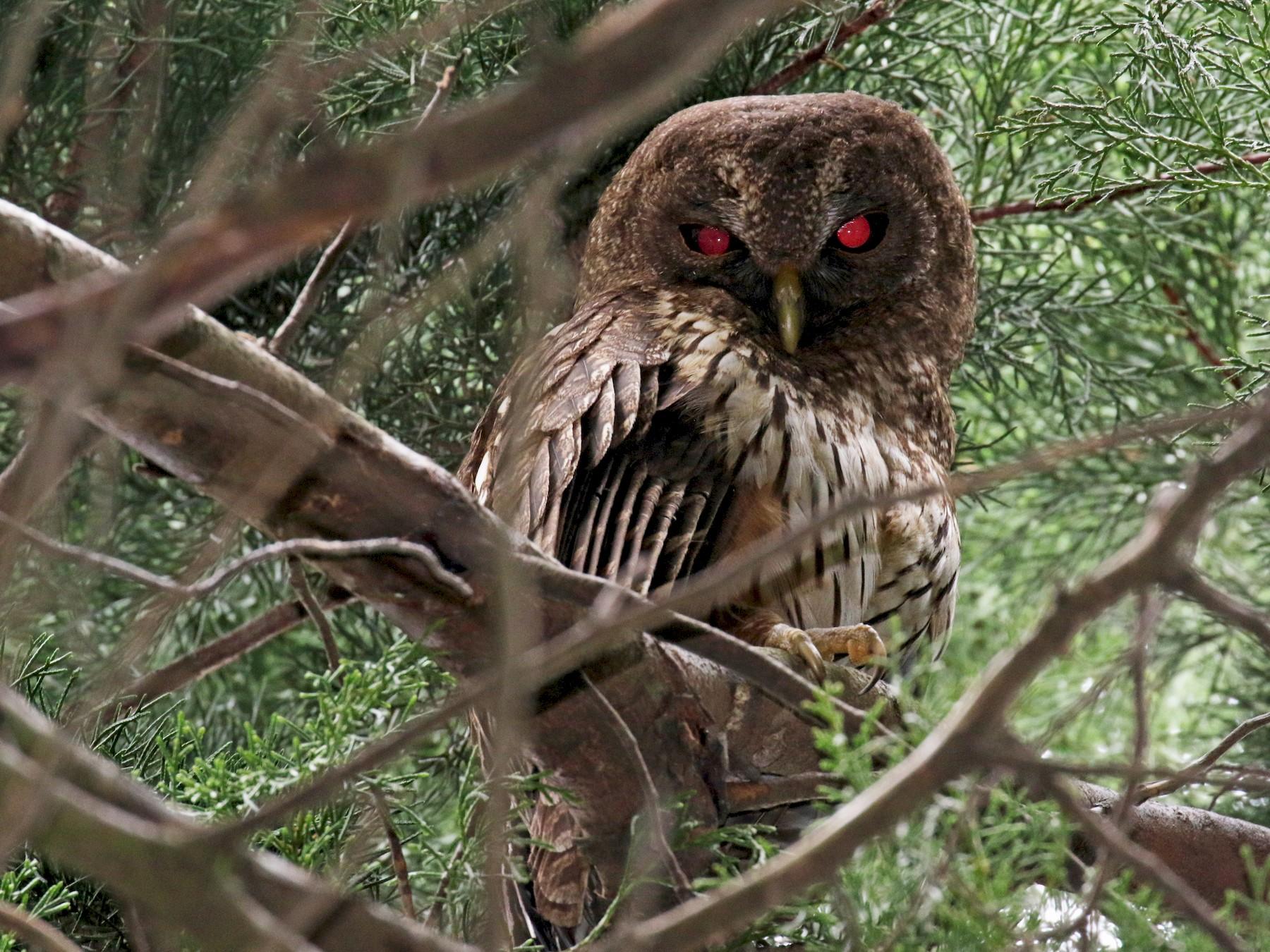 Mottled Owl - Andres Choussy