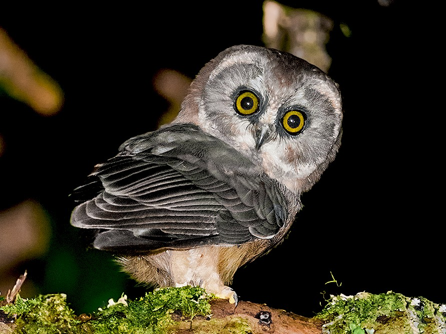 Unspotted Saw-whet Owl - Miguel