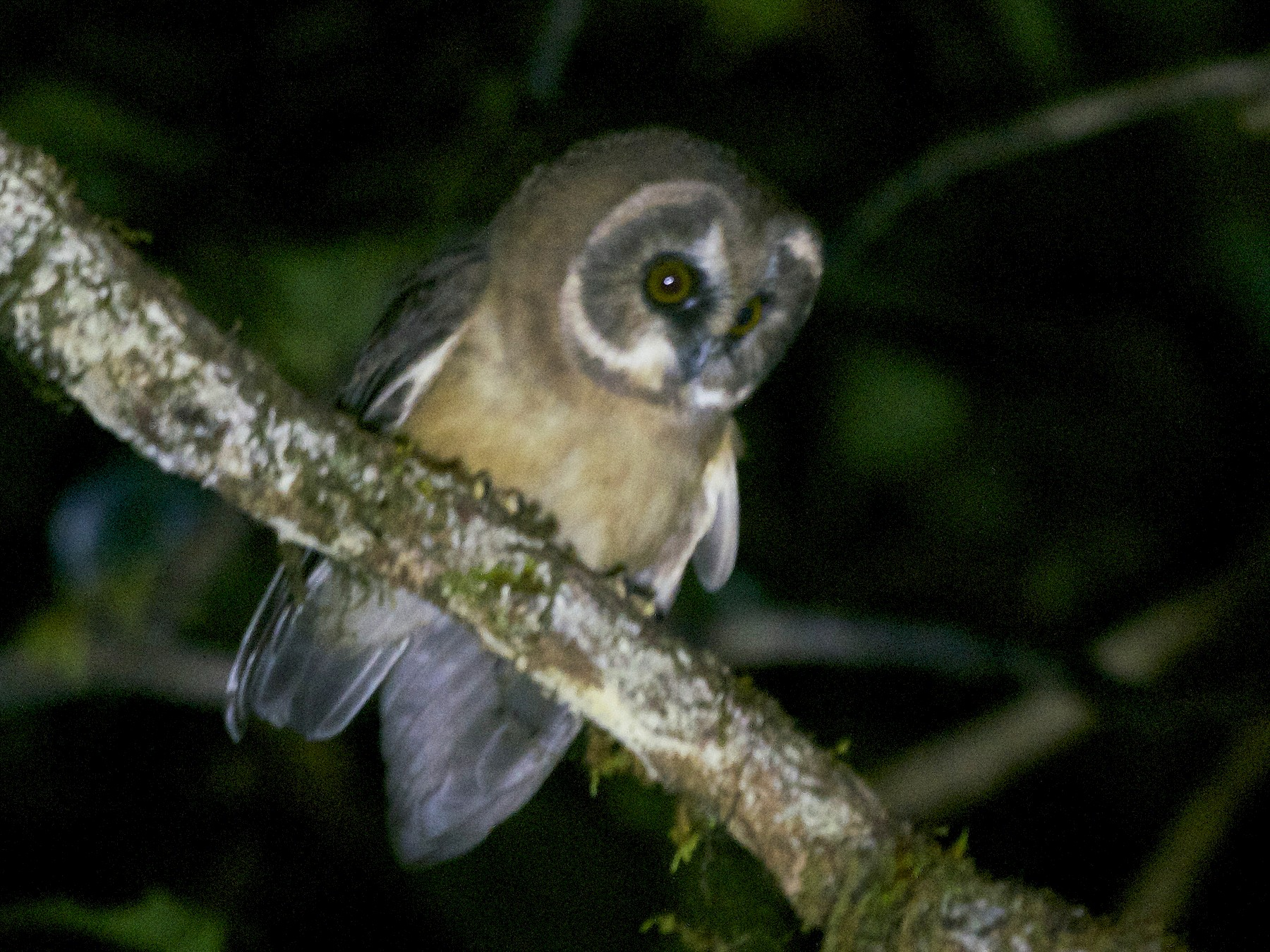 Unspotted Saw-whet Owl - Jan Cubilla