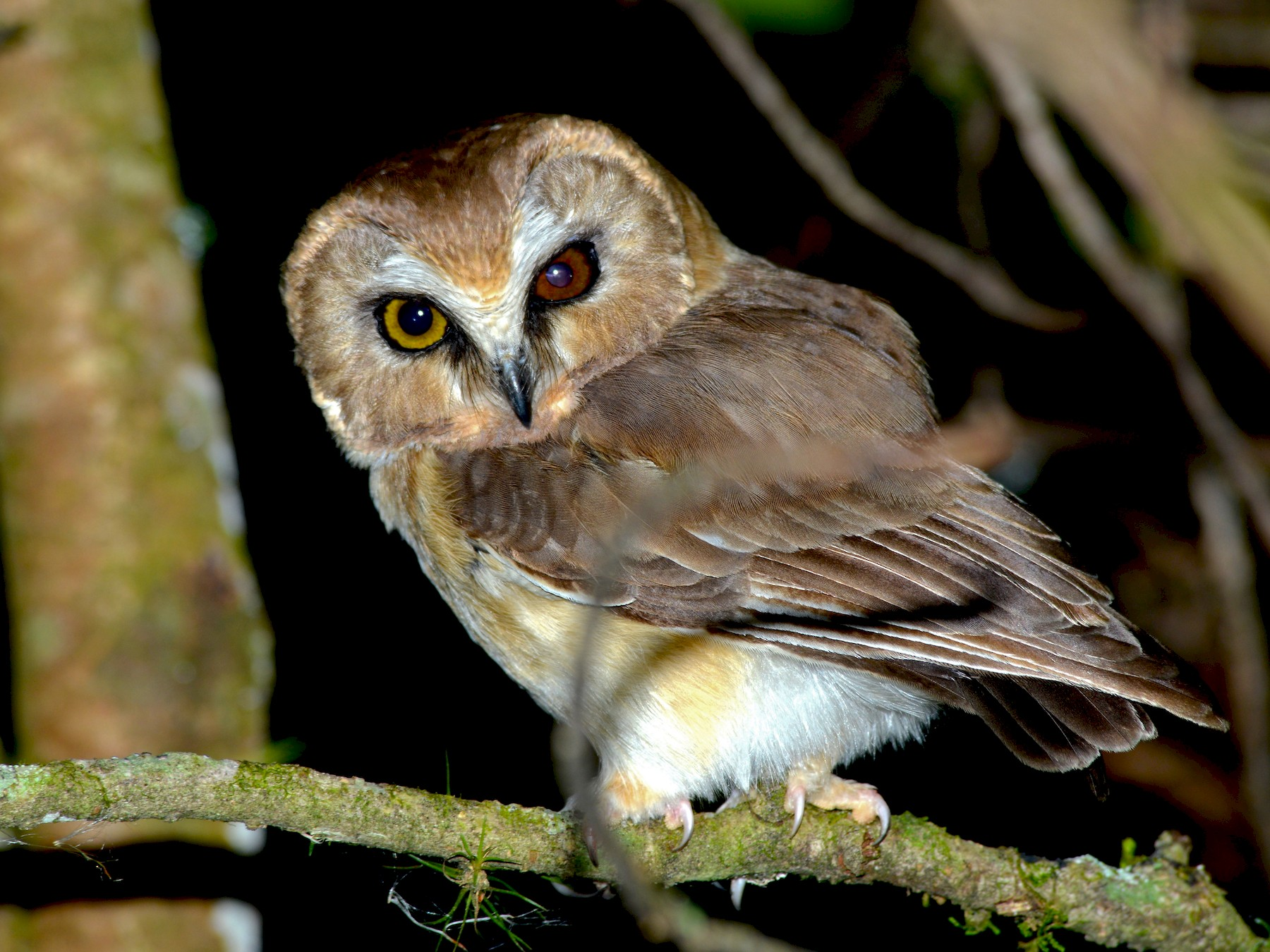 Unspotted Saw-whet Owl - Alan Van Norman