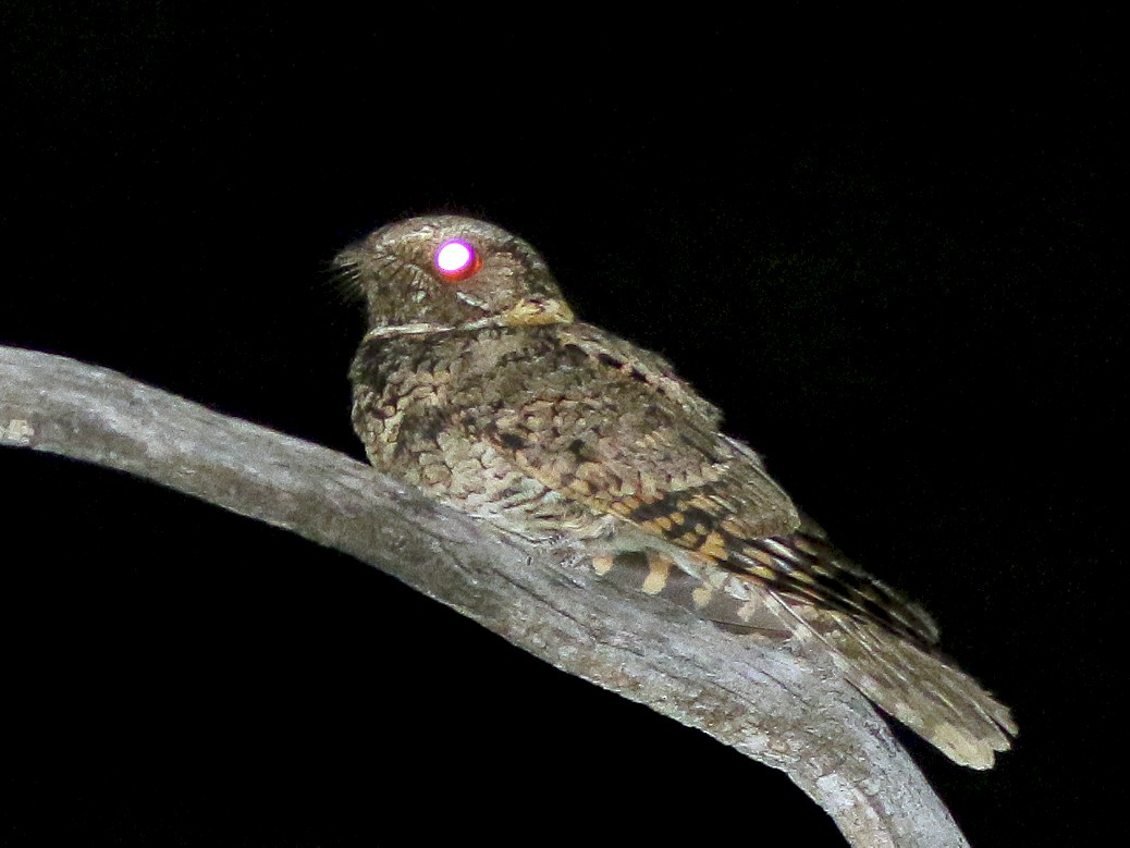 Buff-collared Nightjar - Michael O'Brien