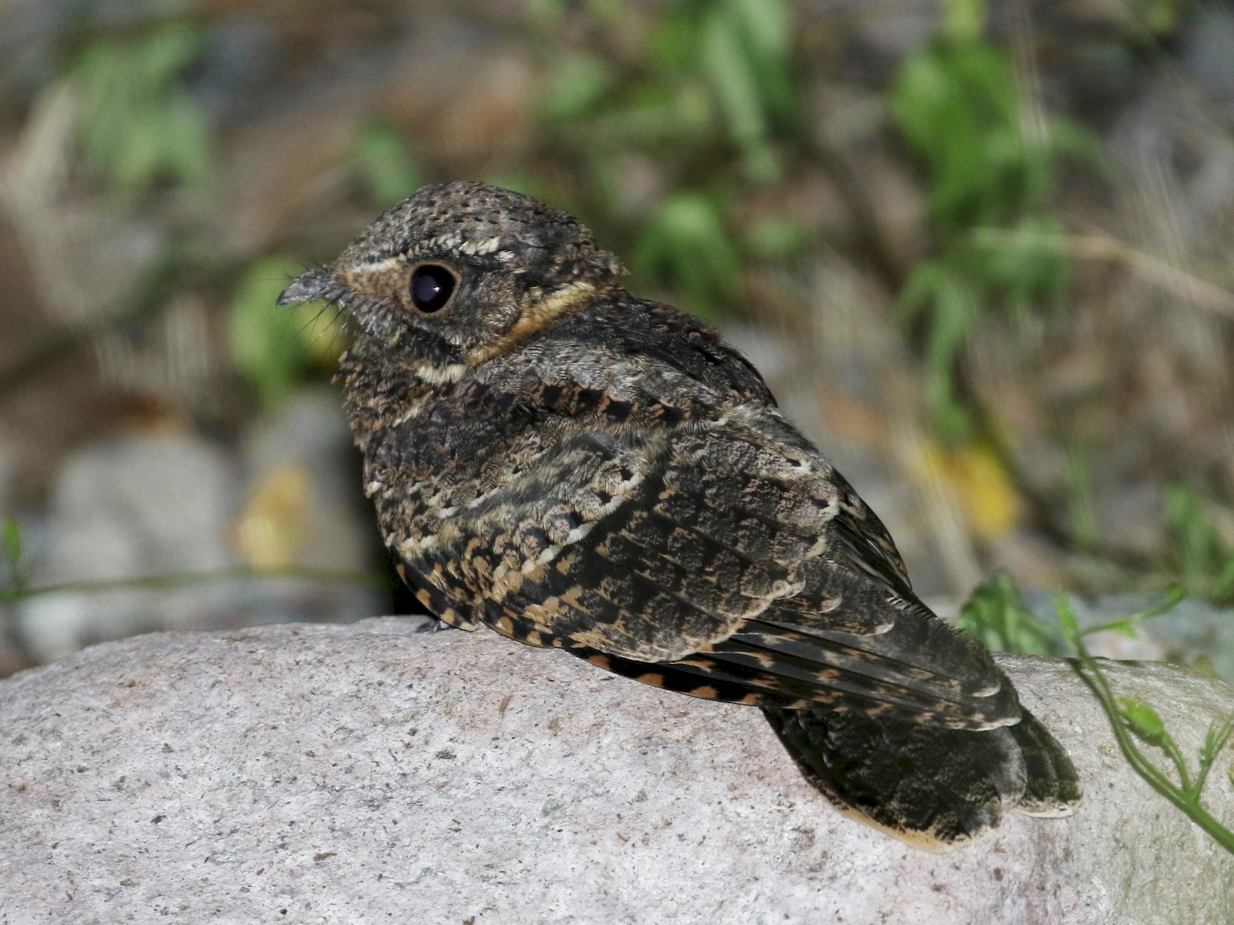 Buff-collared Nightjar - Laurens Halsey