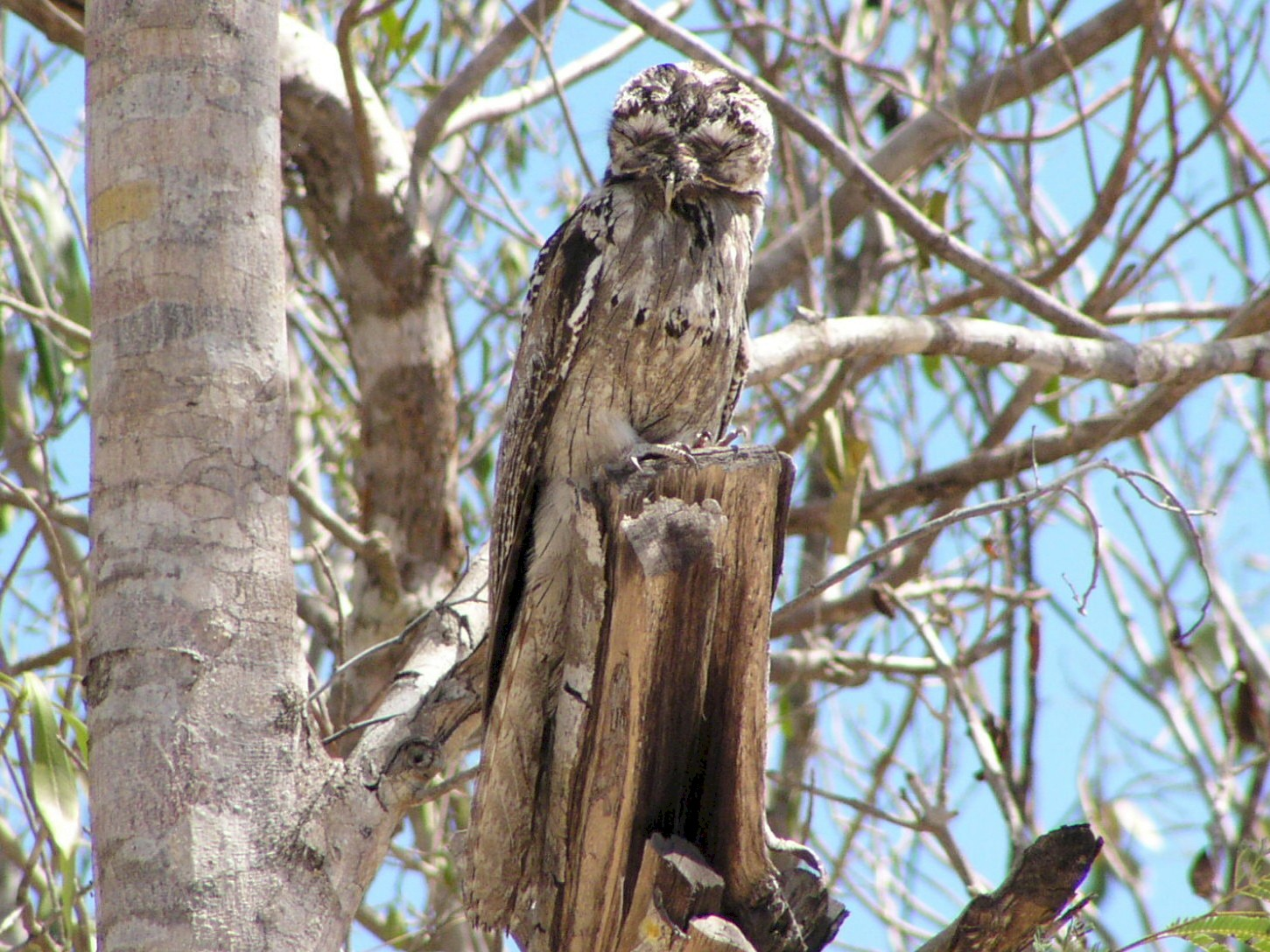 Northern Potoo - Micheline Bisson