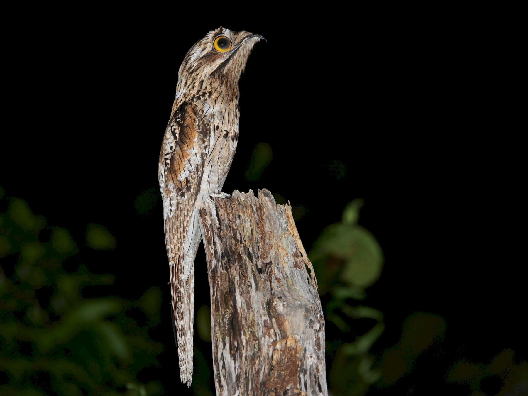 Northern Potoo - Alan Van Norman