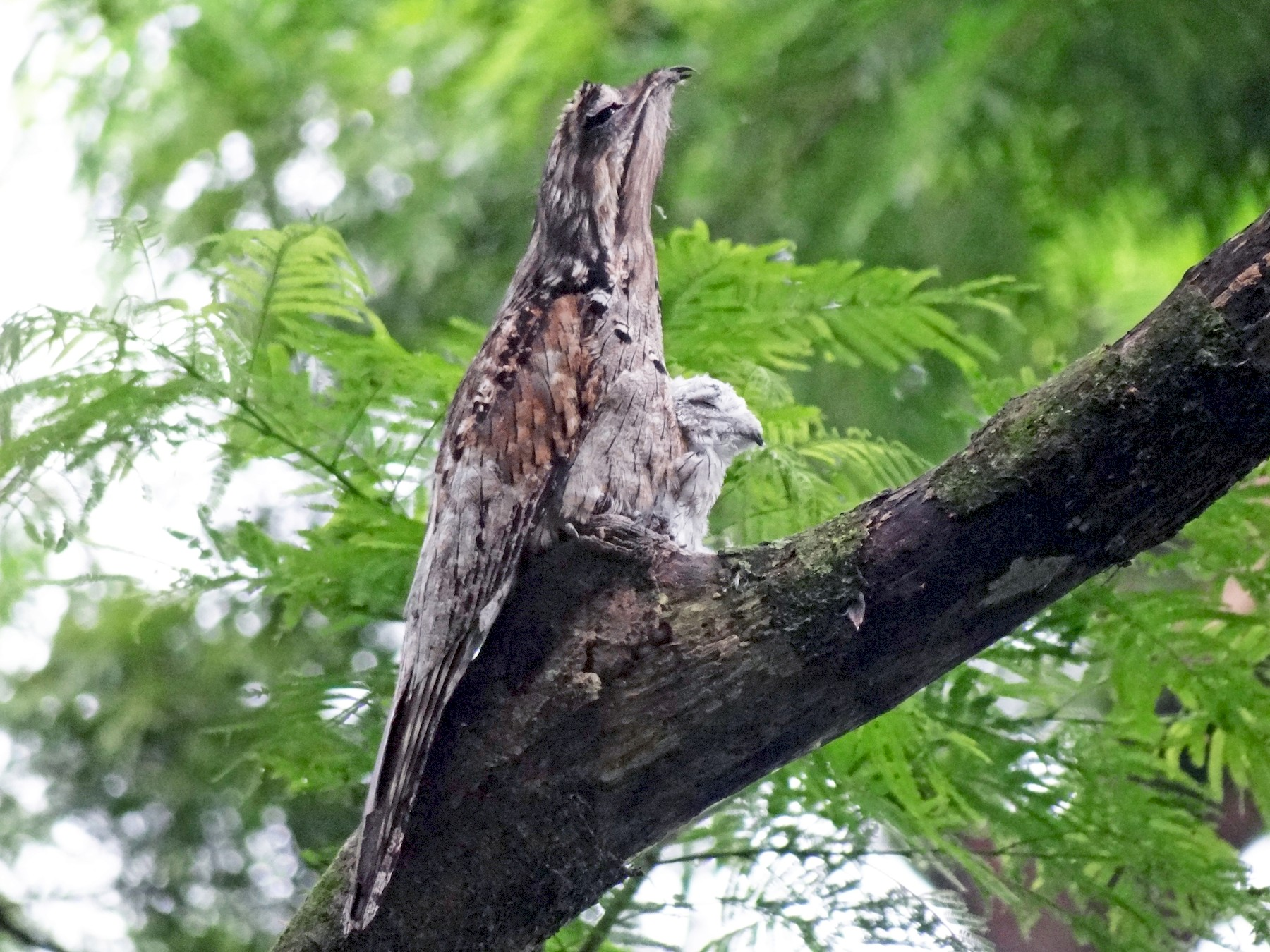 Northern Potoo - Jeffrey Roth