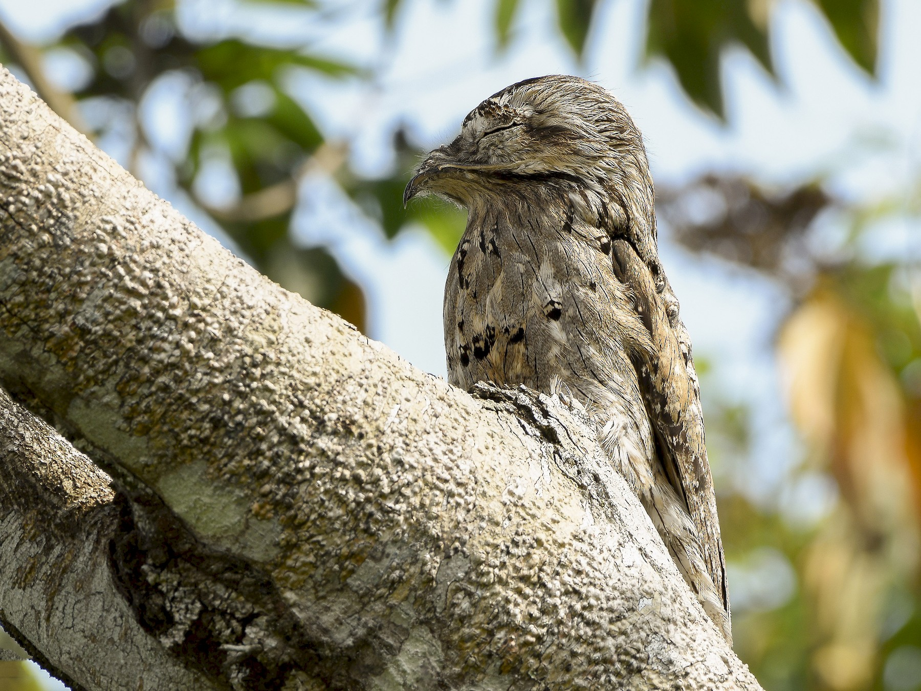 Northern Potoo - Carlos Echeverría