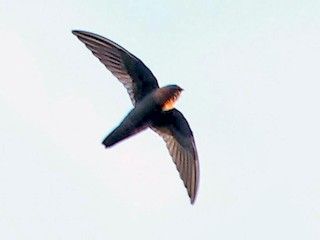 - Chestnut-collared Swift