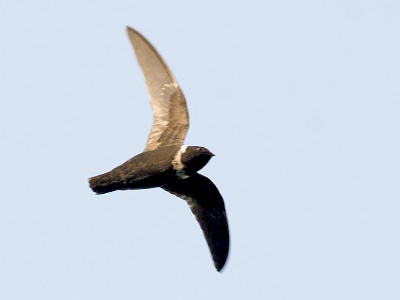 White-collared Swift - Marco Silva
