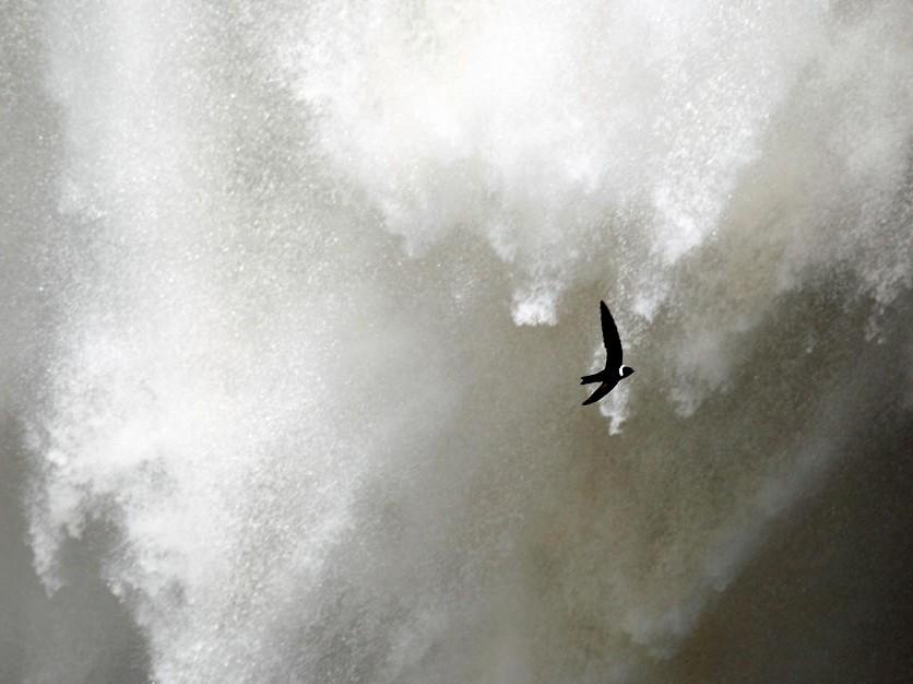 White-collared Swift - Tom Murray
