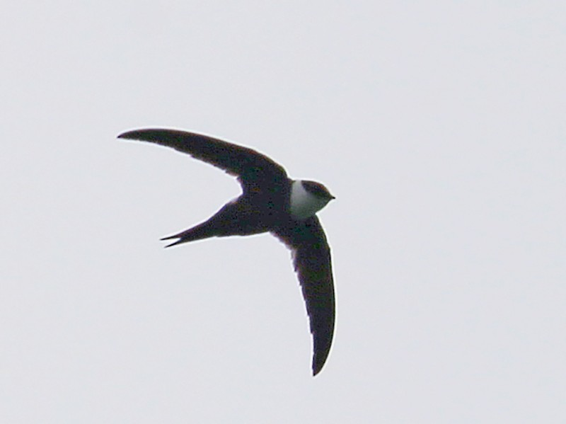 Lesser Swallow-tailed Swift - Tim Lenz