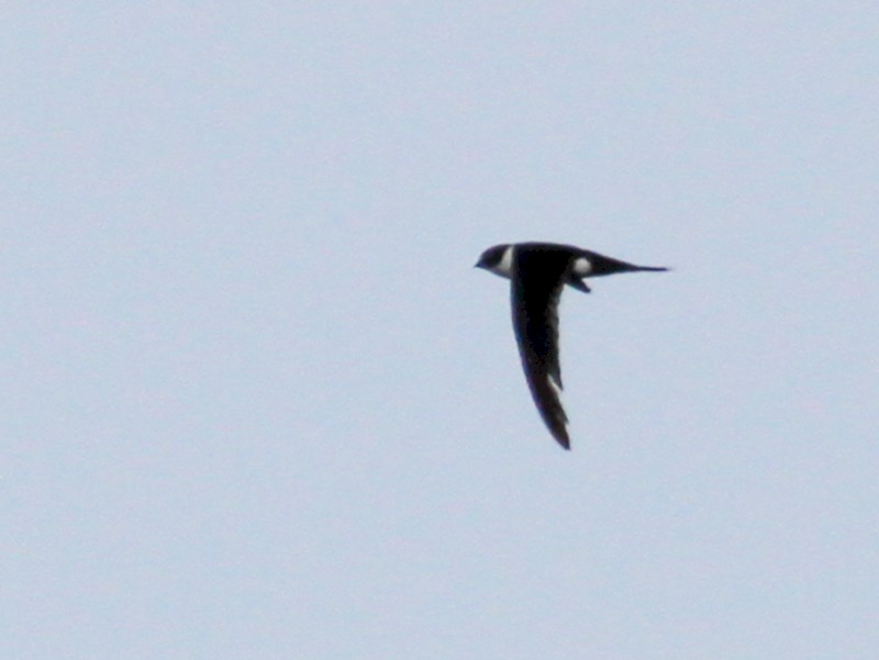 Lesser Swallow-tailed Swift - Carlos Funes