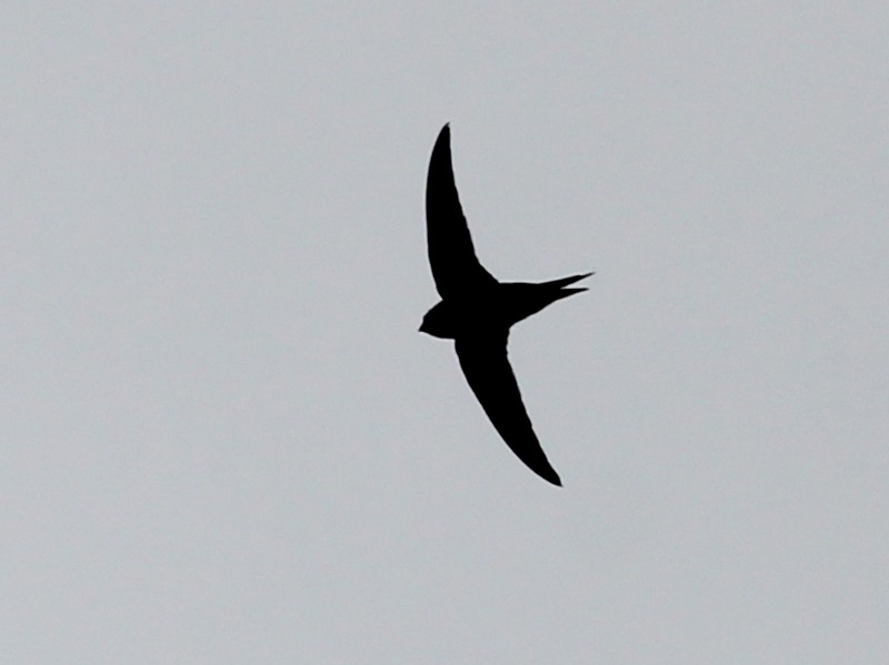 Lesser Swallow-tailed Swift - Gary Leavens